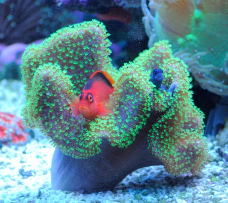ai1123.photobucket.com_albums_l556_mattgreen2218_Aquarium_june2011_blenny001.jpg