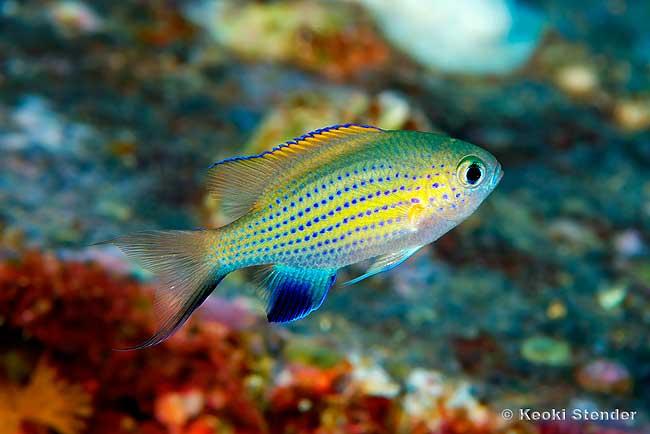 asaltwater.tropicalfishandaquariums.com_Damselfish_chromis_vanderbilti.jpg