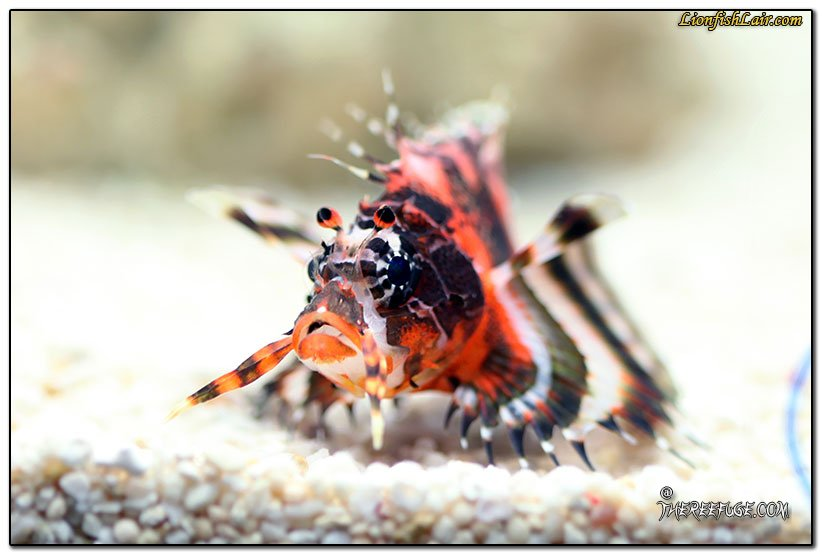 awww.lionfishlair.com_wp_content_uploads_2016_04_dendrochirus_biocellatus_lionfish_4.jpg