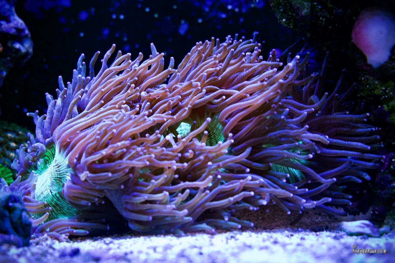 Elegance coral.jpg